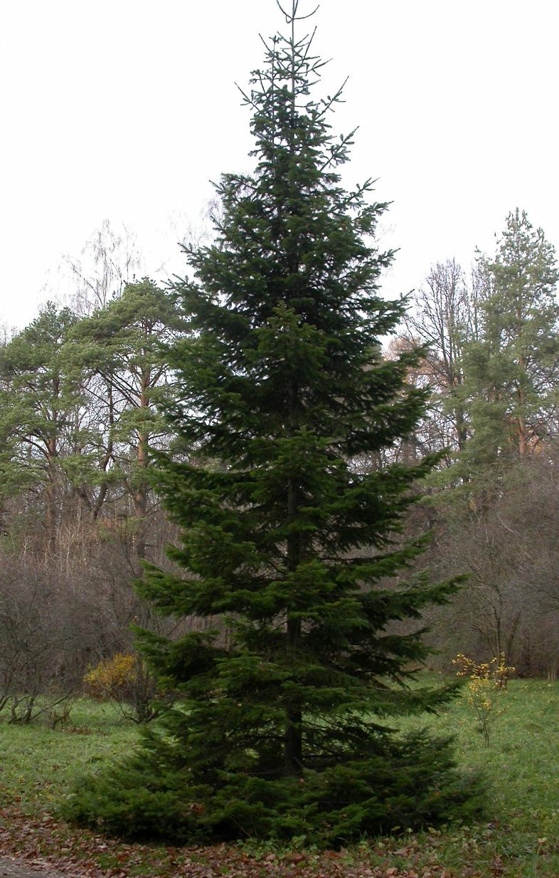 Пихта  Справочник  Лесоматериалы  Деревянное строительство