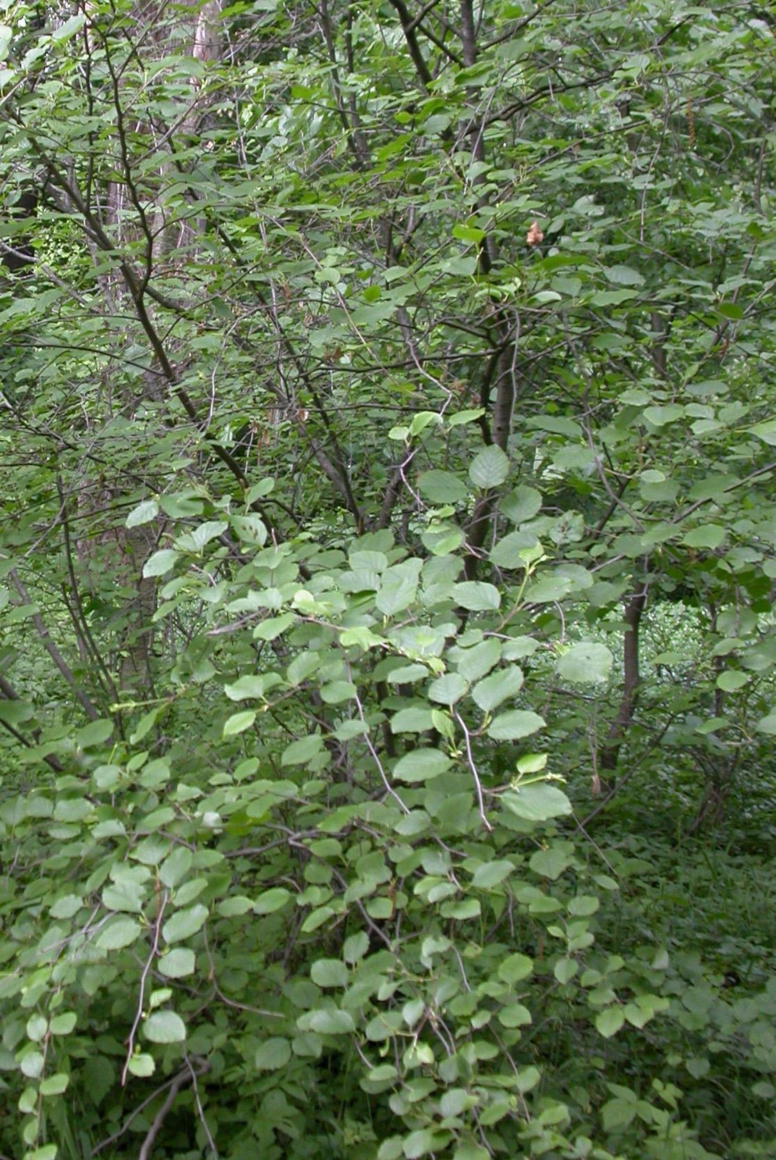 <strong>�����</strong> ������������� (Alnus fruticosa Rupr.) - �������� ���� <strong>...</strong>